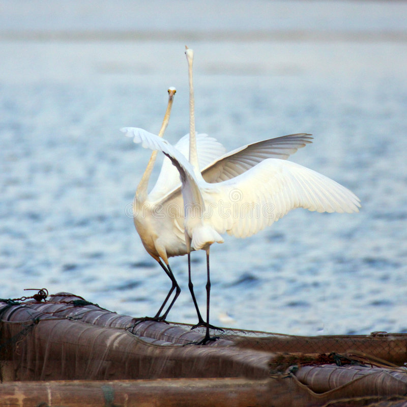 Happy egret. They are too happy egrets royalty free stock image