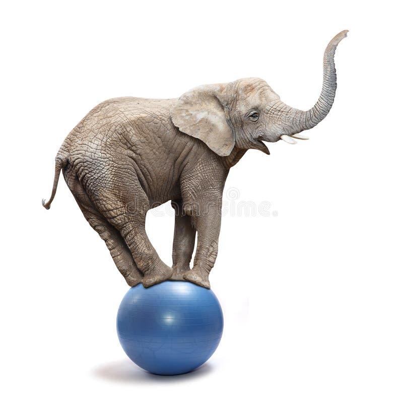Happy elephant. African elephant (Loxodonta africana) balancing on a blue ball