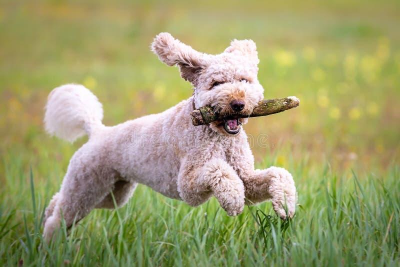 Happy labradoodle dog royalty free stock photo