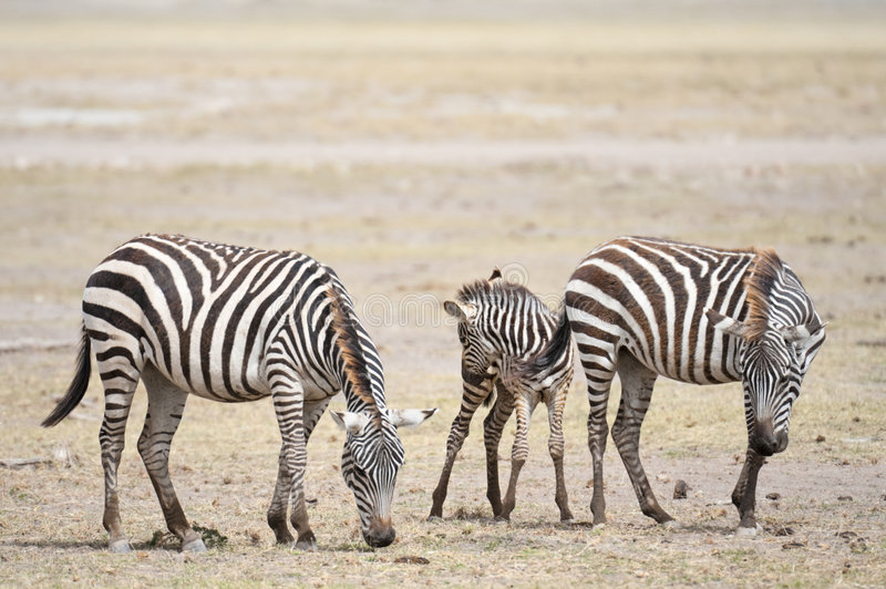 Download Happy  family stock image. Image of arid, herd, sand, amboseli - 9100513