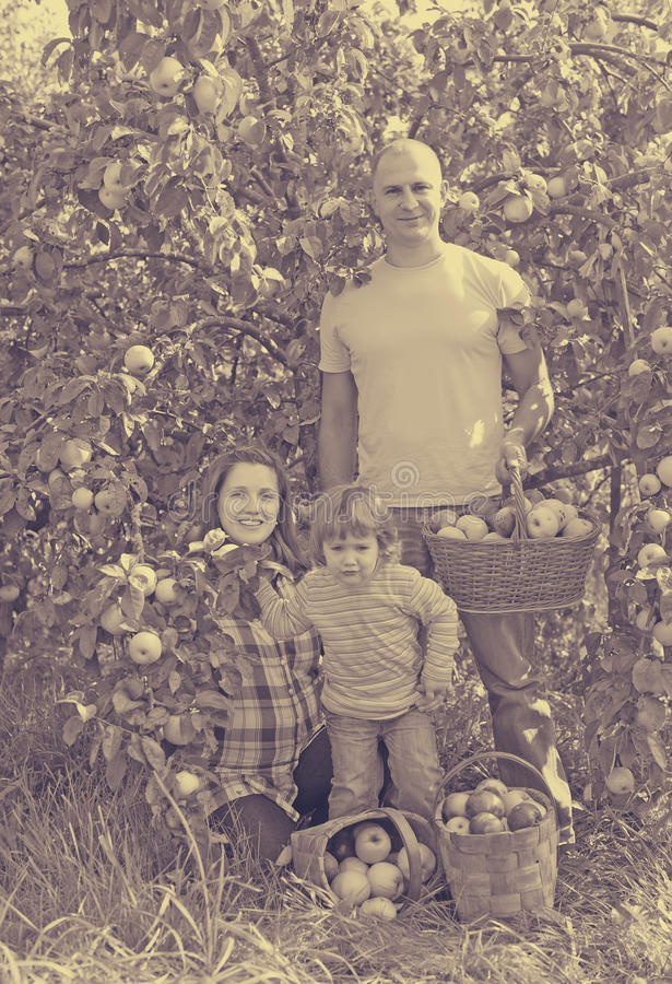 Happy family with apples in garden. Happy family with harvested apples in garden royalty free stock photos
