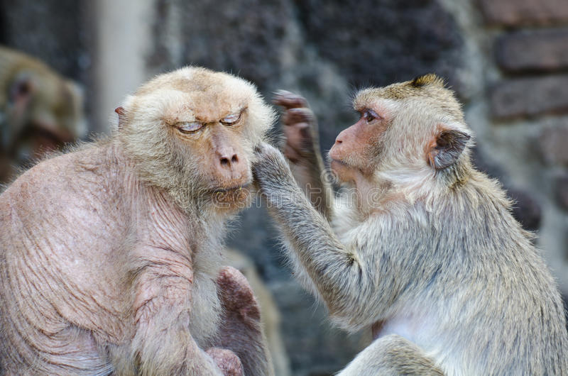 A happy family of monkeys. Macaque are husband and wife care stock photos