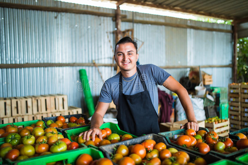 Happy farmer carrying tomatoes in a greenhouse stock photography