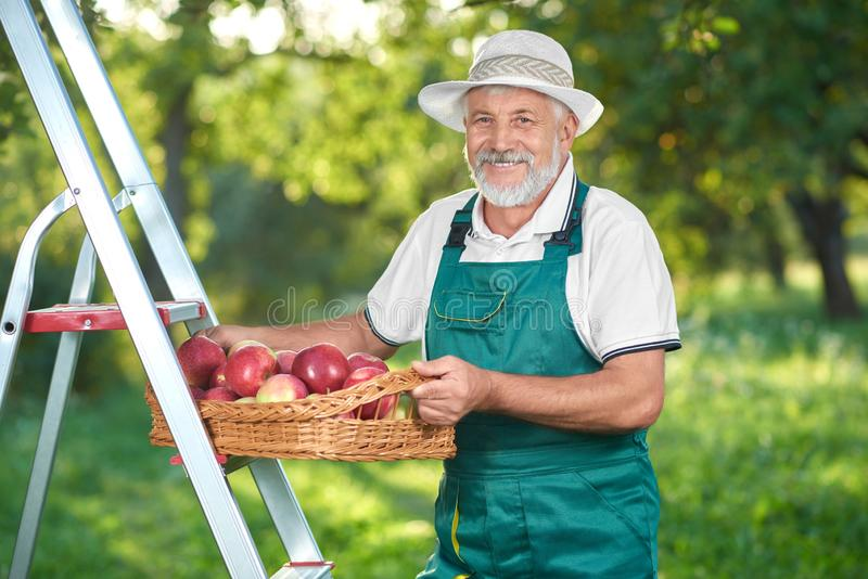 Happy farmer picking apples in garden standing on ladder. stock image
