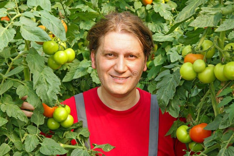 Happy Farmer picking tomato stock image