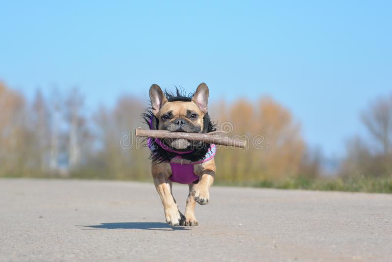 Happy fawn French Bulldog wearing a purple winter coat retrieving stick dog toy during play fetch. Happy cute fawn French Bulldog wearing a purple winter coat royalty free stock photo