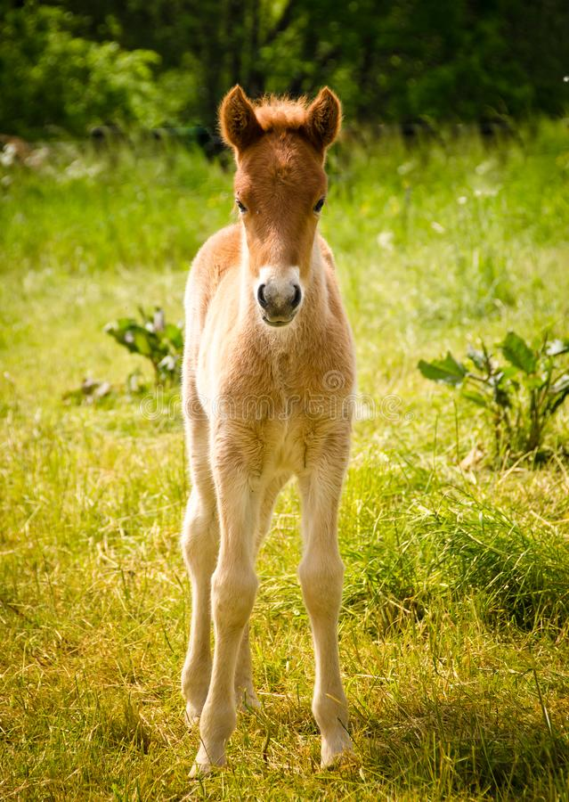 Happy foal in the sun stock photos