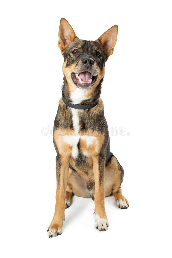 Mixed Common Breed Happy Dog. Happy friendly mixed shepherd breed medium size dog with open mouth and happy expression royalty free stock image
