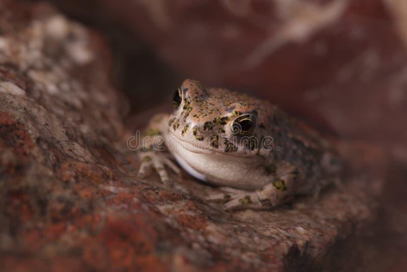 Happy frog looking between rocks stock images