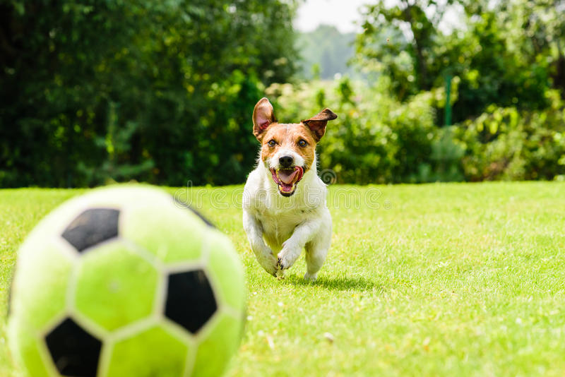 Happy funny football soccer player focused on ball. Jack Russell Terrier dog playing football stock image