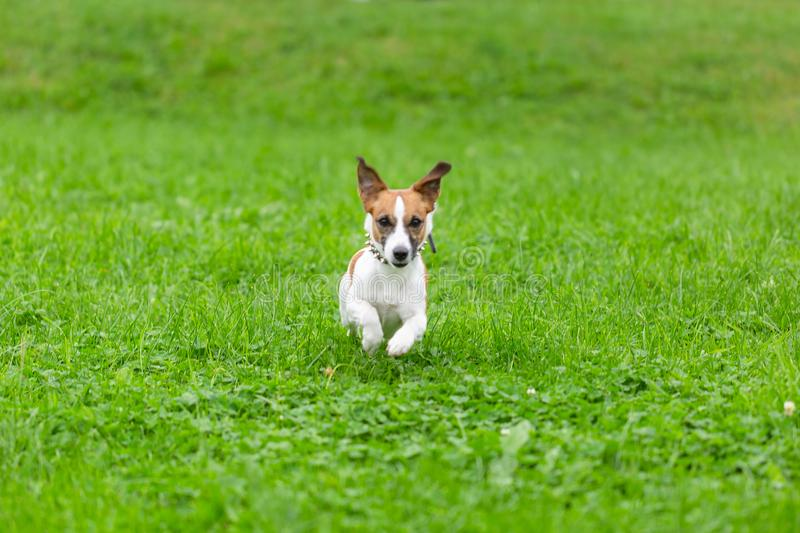 Happy funny Jack Russell Terrier dog playing, running and jumping on the green grass of the park stock photo