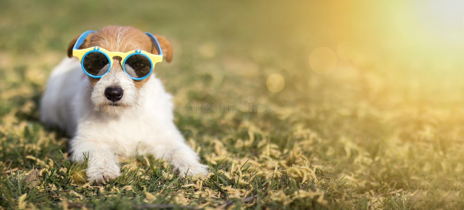 Happy funny pet dog wearing sunglasses, summer fun concept web banner stock photo
