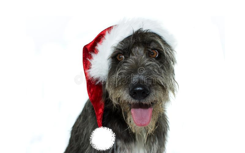 HAPPY PUREBRED DOG CELEBRATING CHRISTMAS PARTY DRESSING A RED SANTA CLAUS HAT. ISOLATED SHOT AGAINST WHITE BACKGROUND stock photos