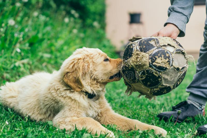 Pappy, Golden Retriever plays in the yard stock photo