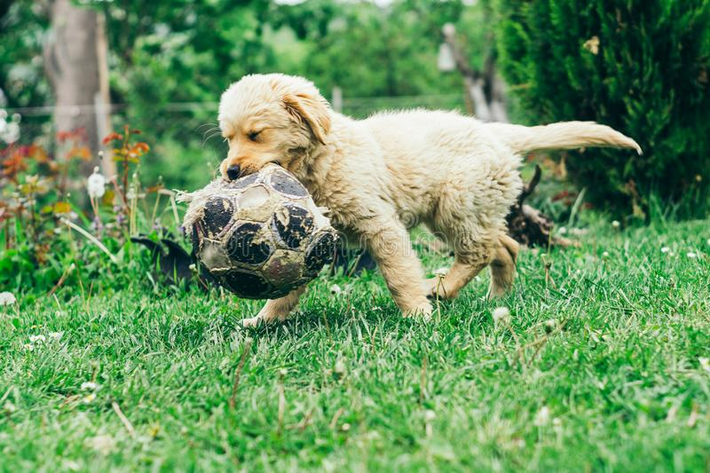 Pappy, Golden Retriever plays in the yard stock image