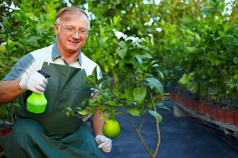 Download Happy Gardener Cares For Grapefruit In Greenery Stock Image - Image: 26604043