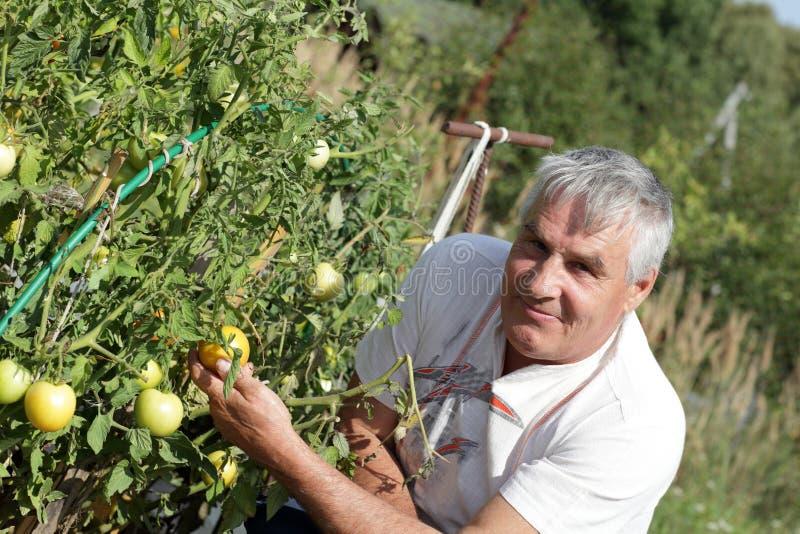 Happy Gardener Poses Near Tomato Plants Royalty Free Stock Image