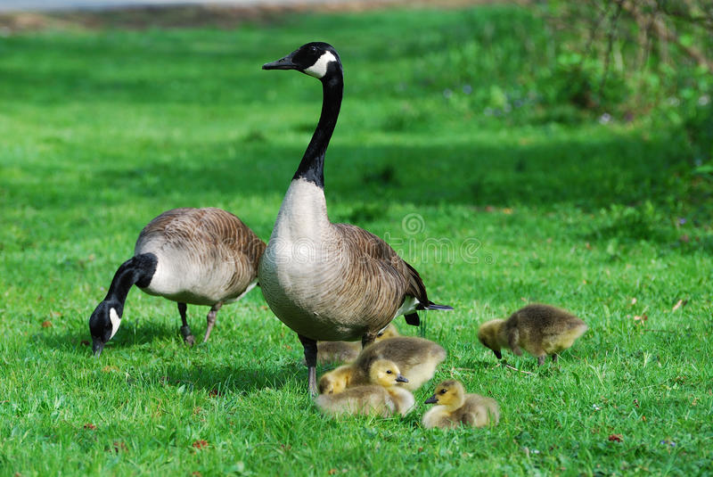 Happy Geese Family royalty free stock photography