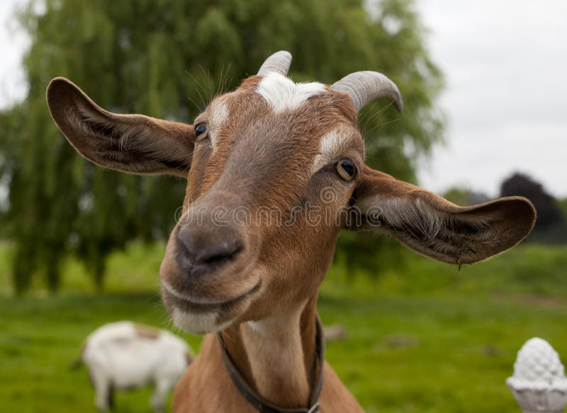 Happy Goat. On a farm royalty free stock photography
