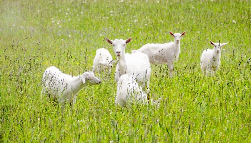 Happy Goat. White goat graze outdoors royalty free stock photo