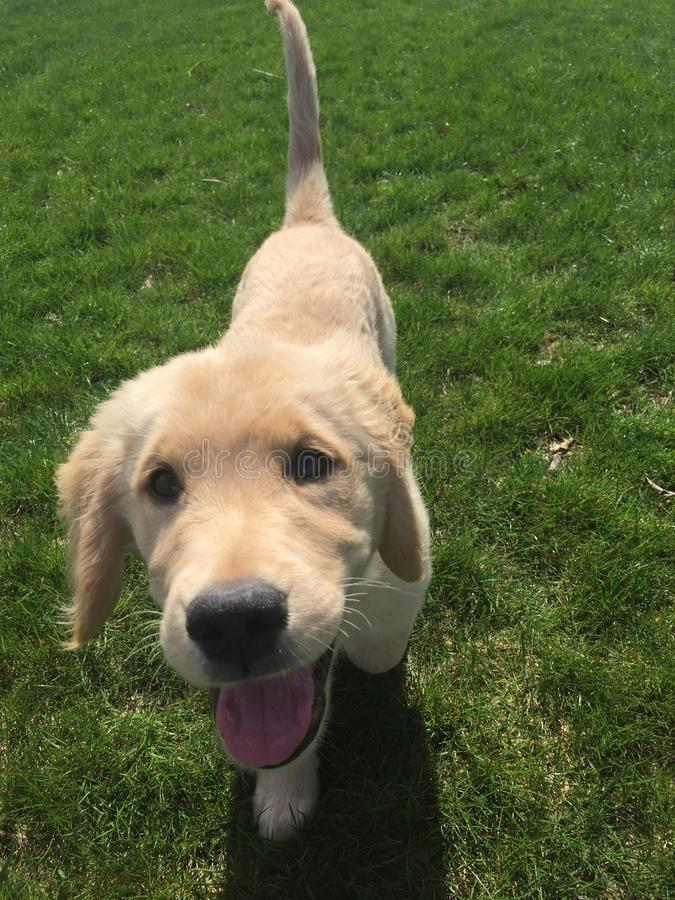 Happy Golden retreiver puppy. Finn the puppy playing outside stock photo