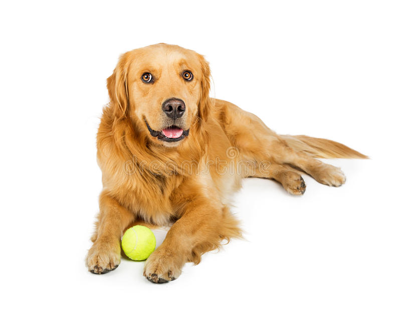 Happy Golden Retriever Dog With Ball royalty free stock photography