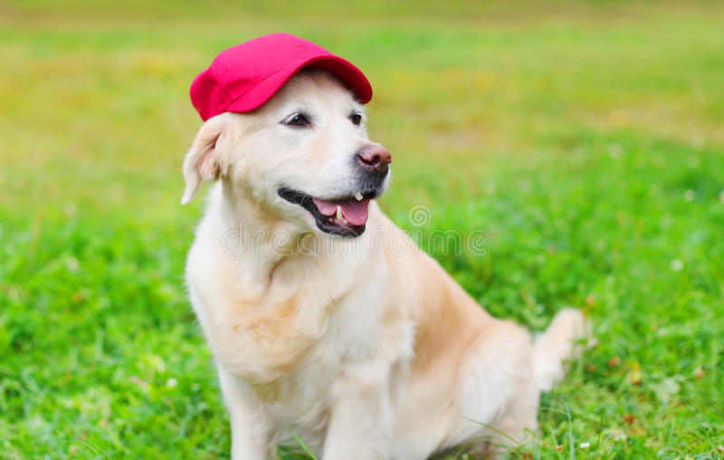 Happy Golden Retriever dog on grass in baseball cap. Happy Golden Retriever dog on grass in red baseball cap royalty free stock photos