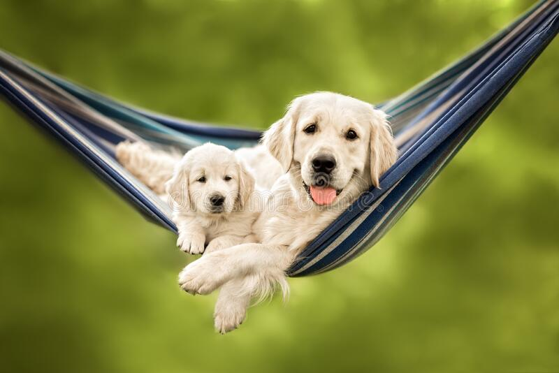 happy golden retriever dog and puppy resting in hammock together royalty free stock photos