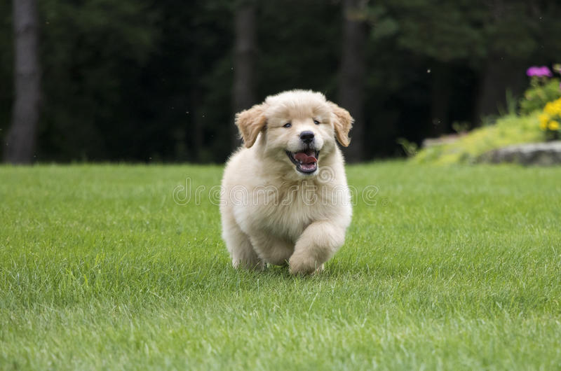 Happy Golden Retriever Puppy Running. Happy 8-week-old Golden Retriever puppy running in his new backyard stock photos