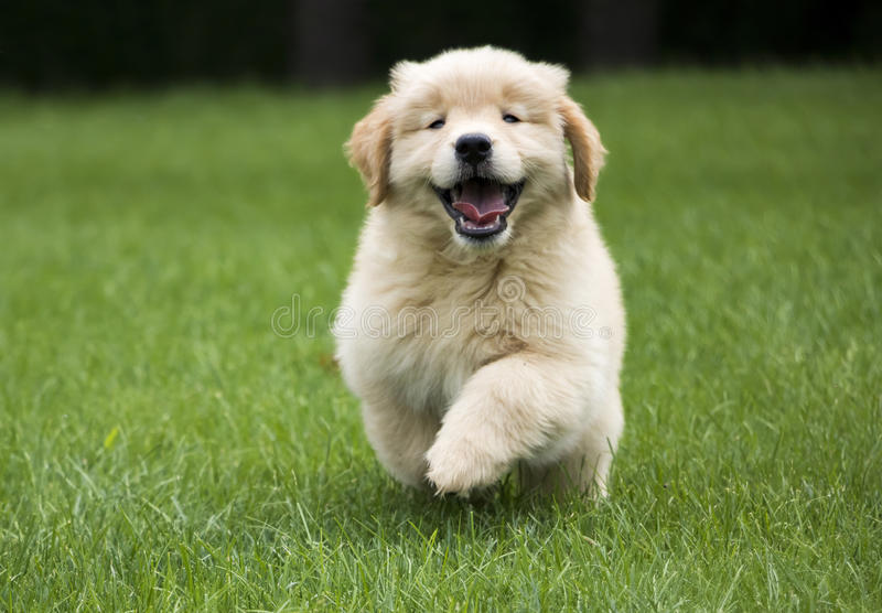 Happy Golden Retriever Puppy. Happy 8-week-old Golden Retriever puppy runs toward the camera