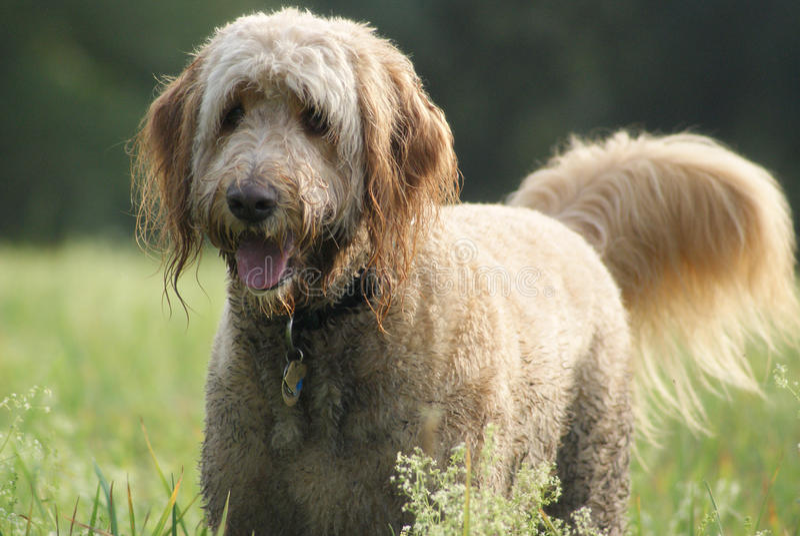 Happy Golden Doodle Dog royalty free stock photos