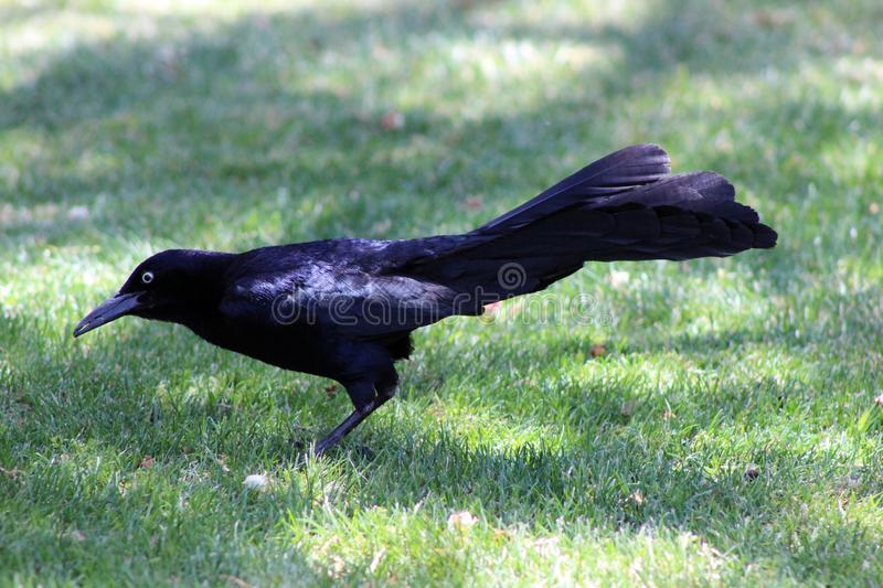 Happy Grackle royalty free stock photos