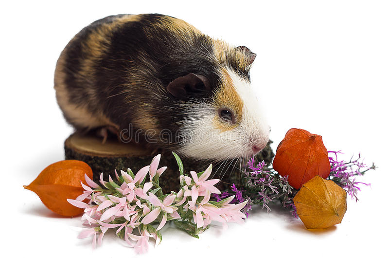 Happy guinea pig on a white background. Is the pet for children and adults royalty free stock photo
