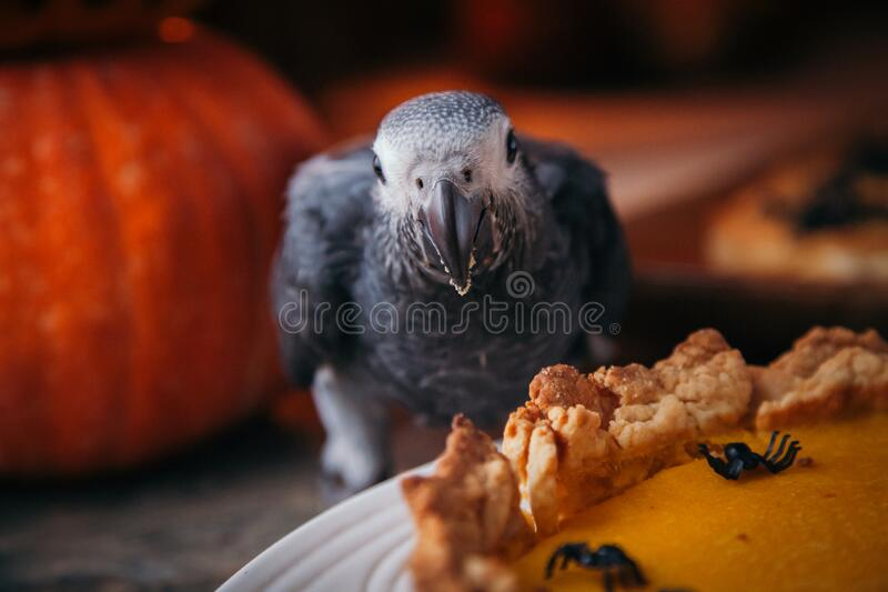 Happy Halloween. African Grey Parrot baby with a pie and pumpkins stock images