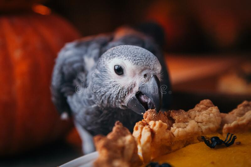 Happy Halloween. African Grey Parrot baby with a pie and pumpkins stock image