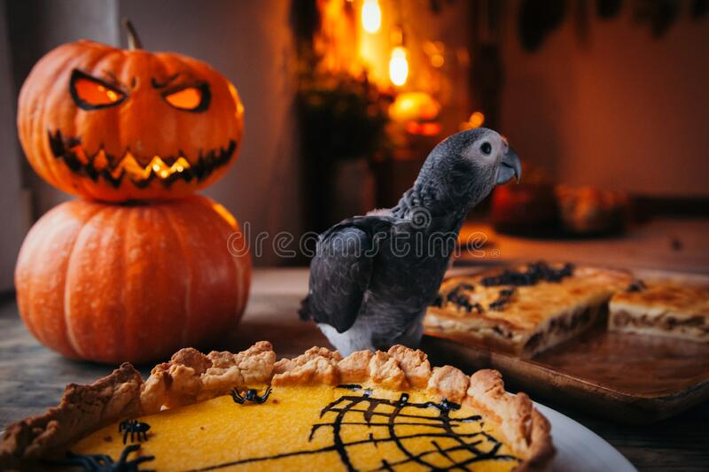 Happy Halloween. African Grey Parrot baby with a pie and pumpkins royalty free stock images