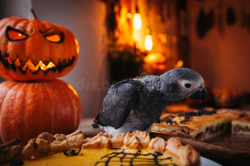 Happy Halloween. African Grey Parrot baby with a pie and pumpkins royalty free stock photos