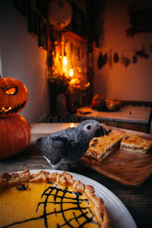 Happy Halloween. African Grey Parrot baby with a pie and pumpkins royalty free stock photography