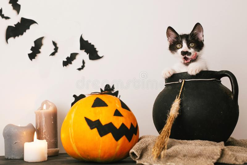 Happy Halloween concept. cute kitty sitting in witch cauldron wi. Th Jack o lantern pumpkin with candles, broom and bats, ghosts on spooky background.atmospheric royalty free stock photo