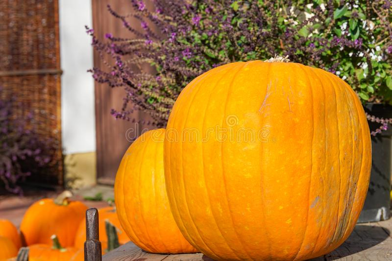 Happy Halloween or Thanksgiving card background, decorative wallpaper. Happy Halloween or Thanksgiving card background - pile of large orange pumpkins and royalty free stock images