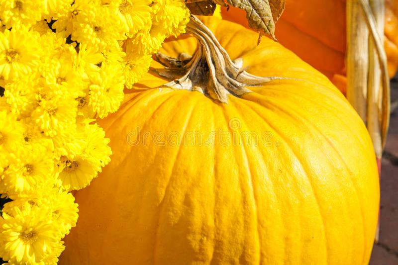 Happy Halloween or Thanksgiving card background - pile of large orange pumpkins and Aster genus. Plants decorative wallpaper. Happy Halloween or Thanksgiving stock photo