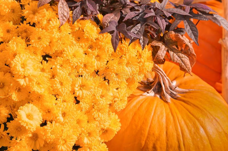 Happy Halloween or Thanksgiving card background - pile of large orange pumpkins and Aster genus. Plants decorative wallpaper. Happy Halloween or Thanksgiving stock photography