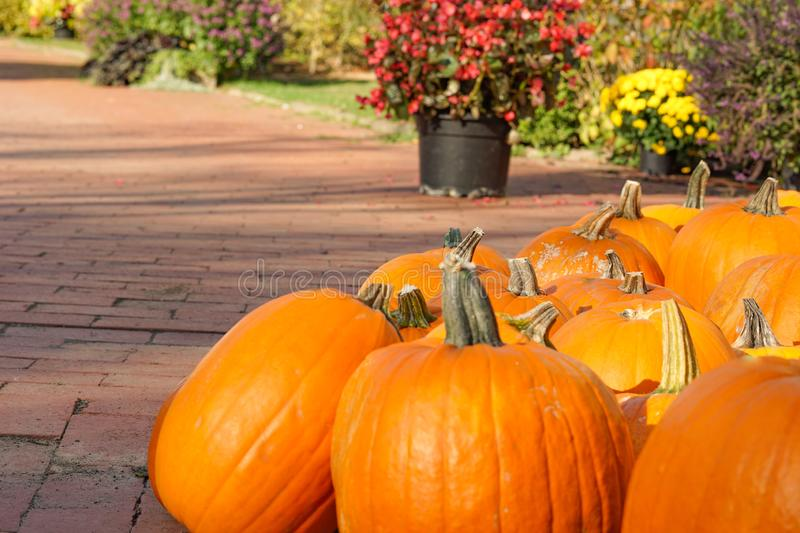 Happy Halloween or Thanksgiving card background plants decorative wallpaper. Happy Halloween or Thanksgiving card background - pile of large orange pumpkins and stock photo