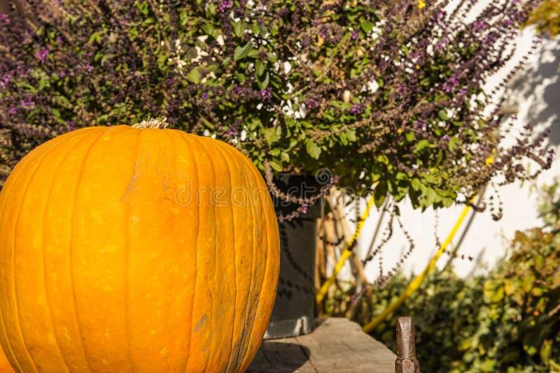 Happy Halloween or Thanksgiving card background , erica Erica Carnea plants decorative wallpaper. Happy Halloween or Thanksgiving card background - Erica Carnea stock photo