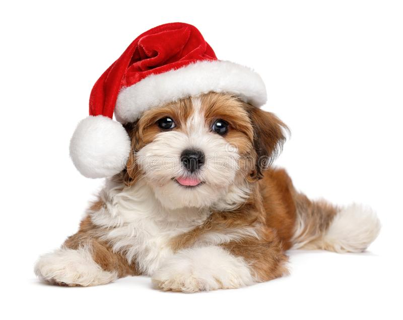 Happy Havanese puppy is wearing a Santa hat. Happy smiling Bichon Havanese puppy dog is wearing a Christmas Santa hat - isolated on white background stock image