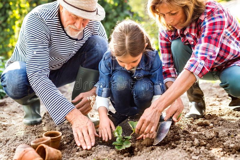 Senior couple with grandaughter gardening in the backyard garden royalty free stock photo