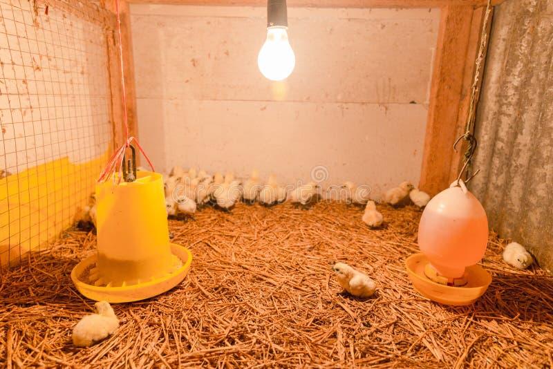 Happy hen in farm. Thailand stock photos
