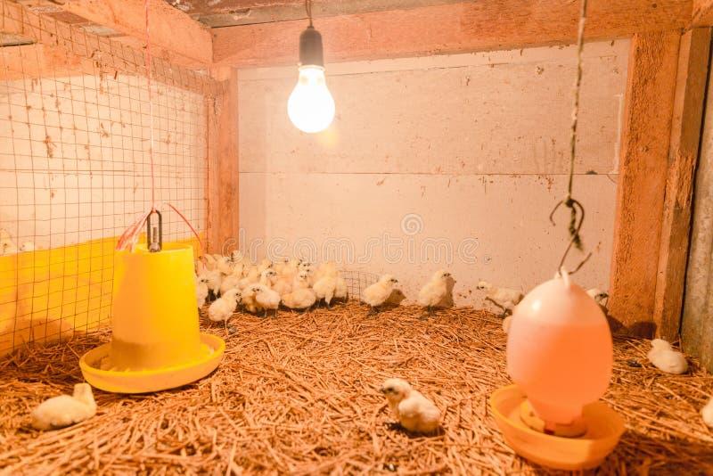 Happy hen in farm. Thailand stock image