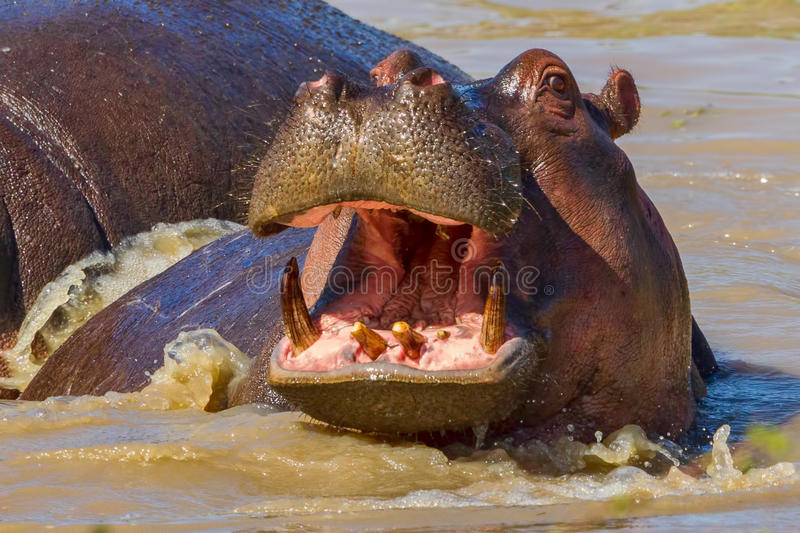 Happy Hippopotamus. A young Hippopotamus, looking like it is smiling, with jaws just open, showing its ever-growing canines and incisors. After a hot time out on stock image