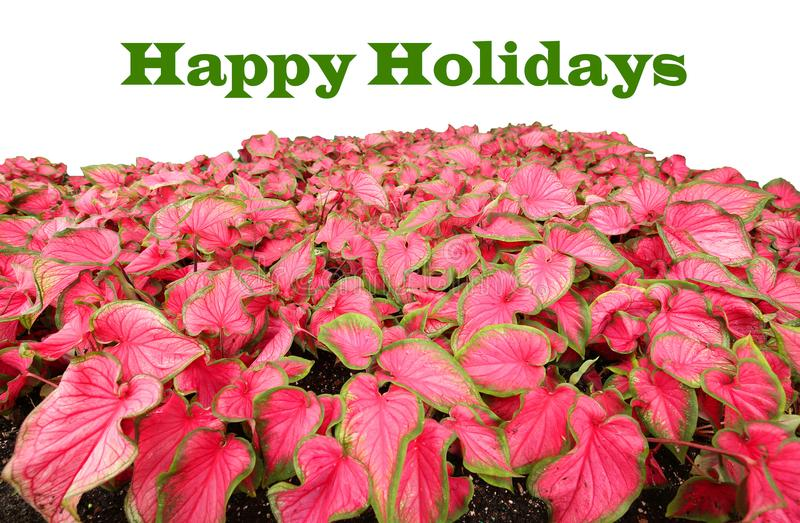 Happy Holidays written in green above red caladiums stock photos